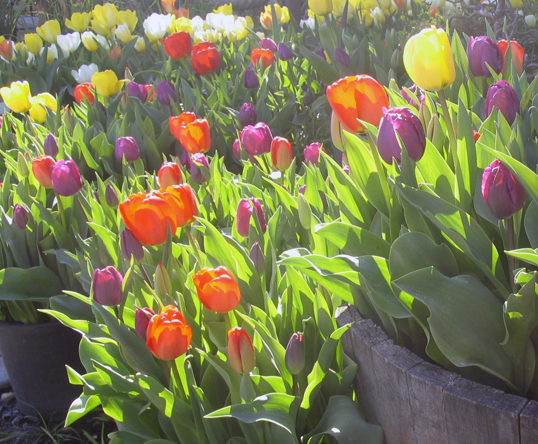 CGN_tulips02andesartesanalesjpg.jpg